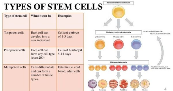 Types of stem cells and their uses bella vista for Types of foundation and their uses